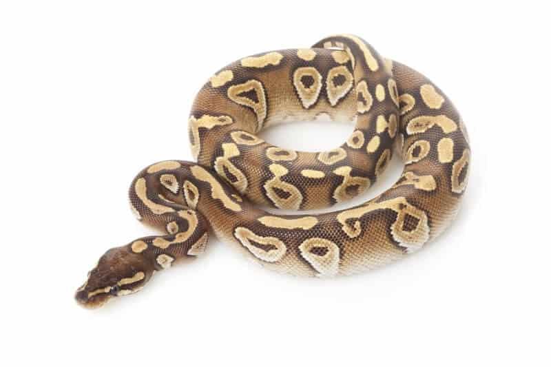 A cool mojave ball python