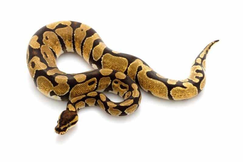 An enchi ball python snake
