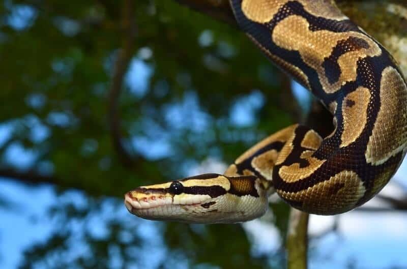 Fire ball python climbing in a tree