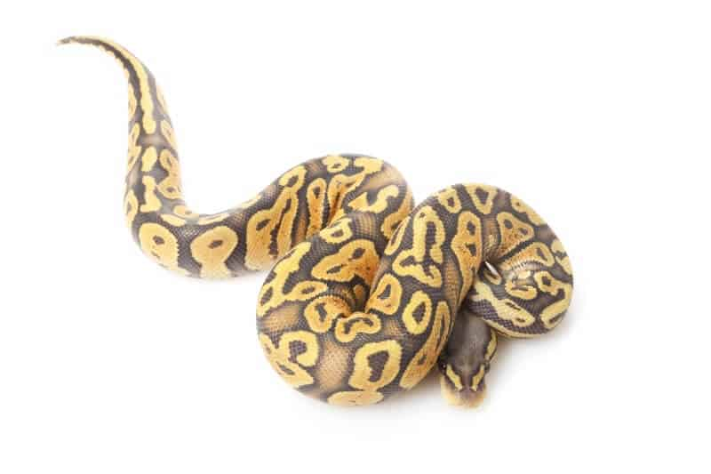 A ghost ball python morph