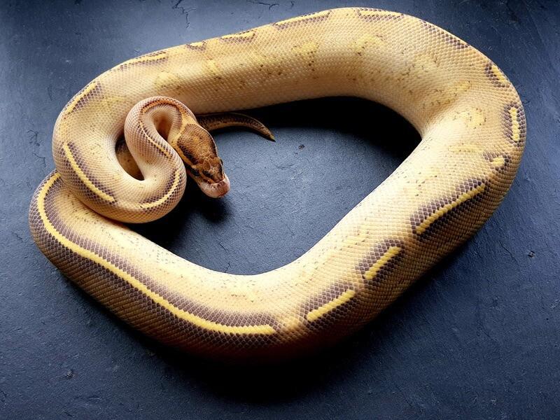 The highway ball python color