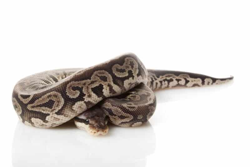 Pewter ball python morph