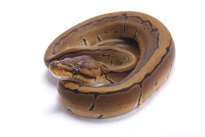 The pinstripe ball python morph