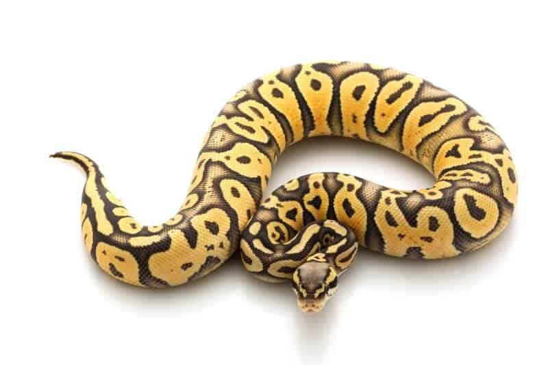 The super pastel ball python