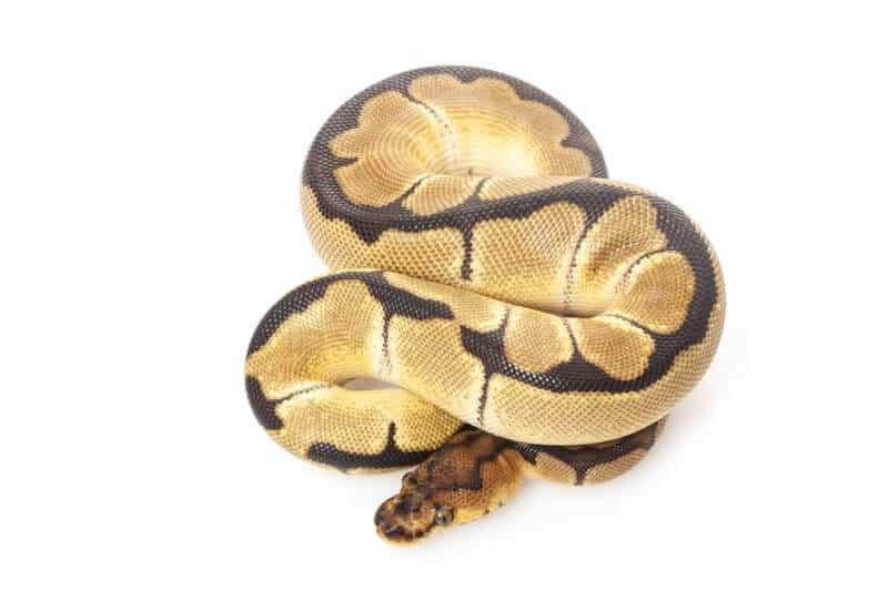 A thick clown ball python snake