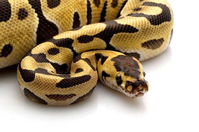 A tiger ball python