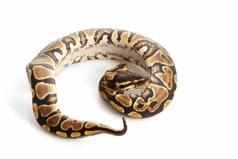 A colorful yellow belly ball python morph