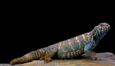 An ornate uromastyx basking on a rock