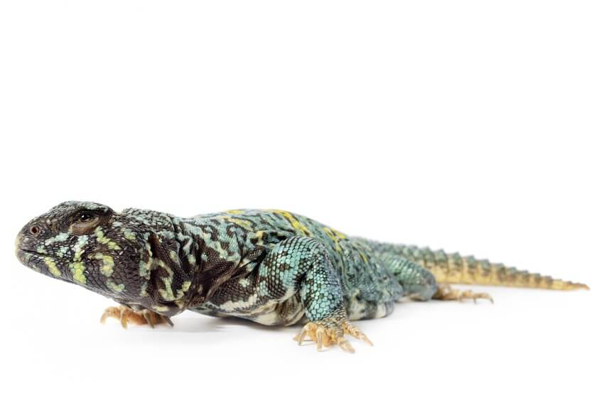 A male ornate uromastyx crawling