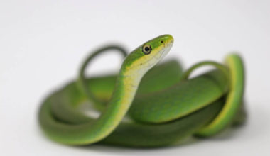 A rough green snake coiled up