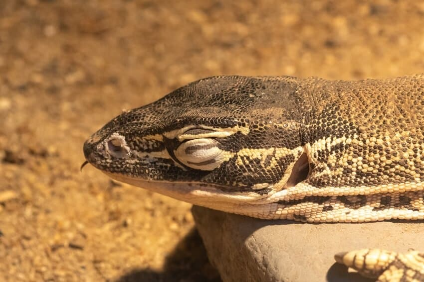 A male Argus monitor basking inside its enclosure