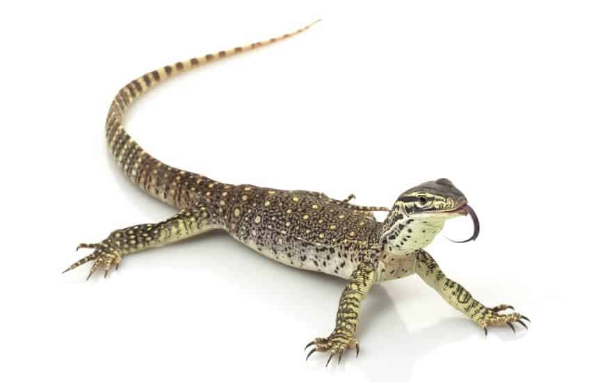 An adult Argus monitor