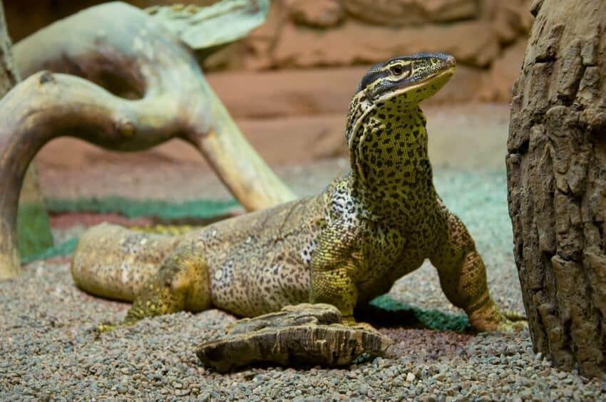 Varanus panoptes lizard in a large enclosure