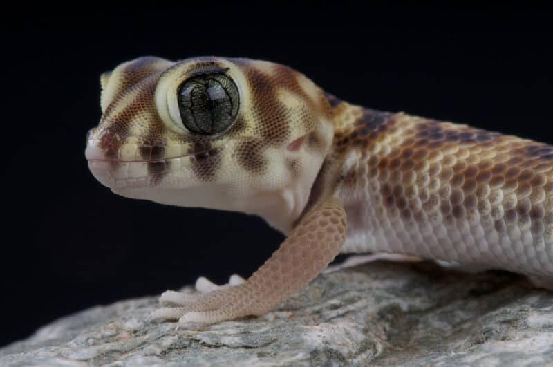 A pet frog-eyed gecko