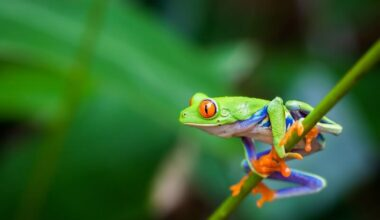 A red-eyed tree frog climbing