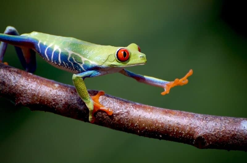 One red-eyed tree frog walking on a branch and looking for food