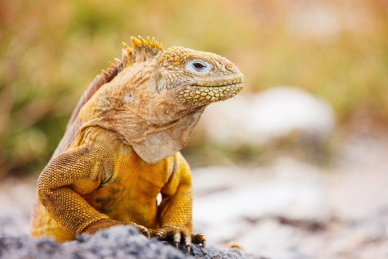 A basking Galapagos land iguana