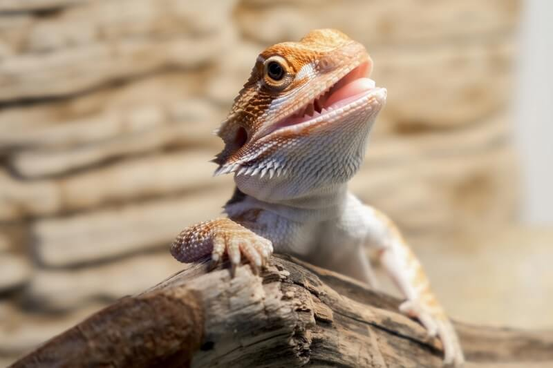 A pet bearded dragon before eating eggs