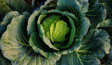 Fresh cabbage before getting eaten by a bearded dragon