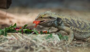 A bearded dragon eating watermelon and other food in a bowl