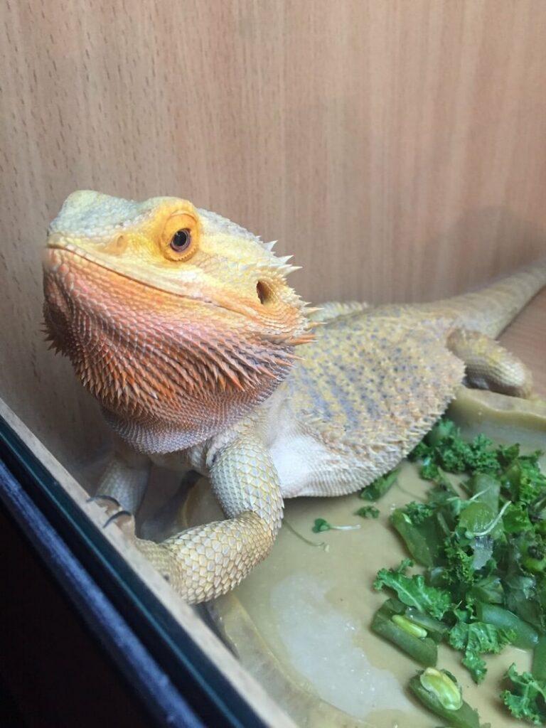 A pet bearded dragon eating kale