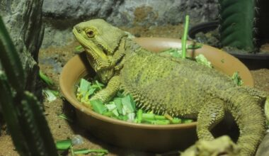 A bearded dragon in a bowl of food with kale
