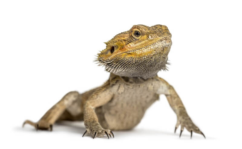 A pet bearded dragon preparing to eat raspberries