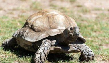 A Burmese mountain tortoise in an outdoor enclosure