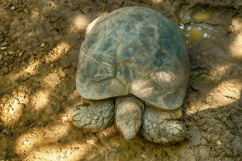 One Burmese mountain tortoise before feeding time