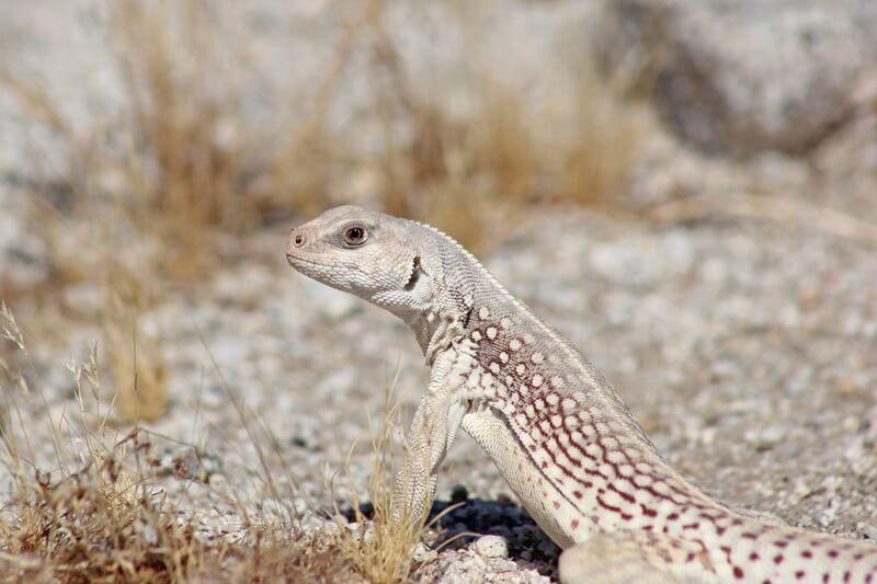 The desert iguana species