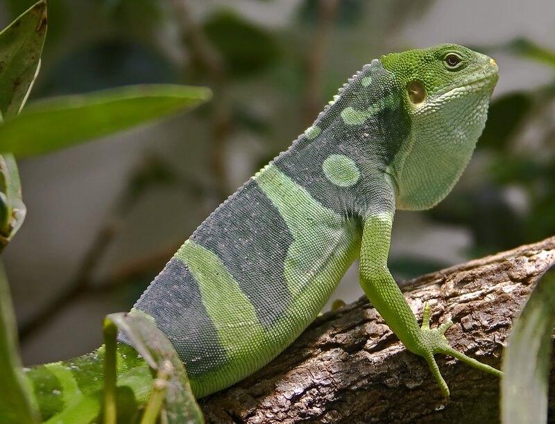 The Fiji banded iguana breed