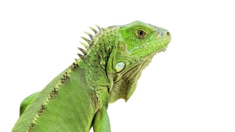 A popular type of iguana called the green iguana