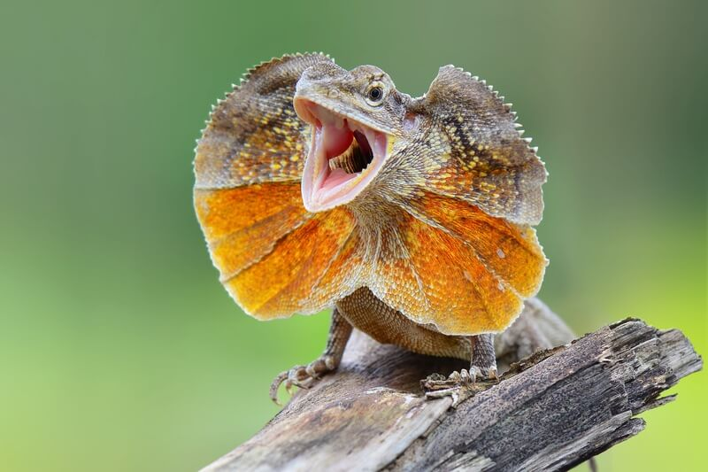 An intelligent reptile named the frill-neck lizard
