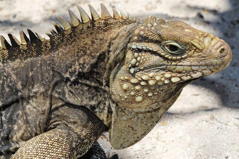 One large Cuban rock iguana
