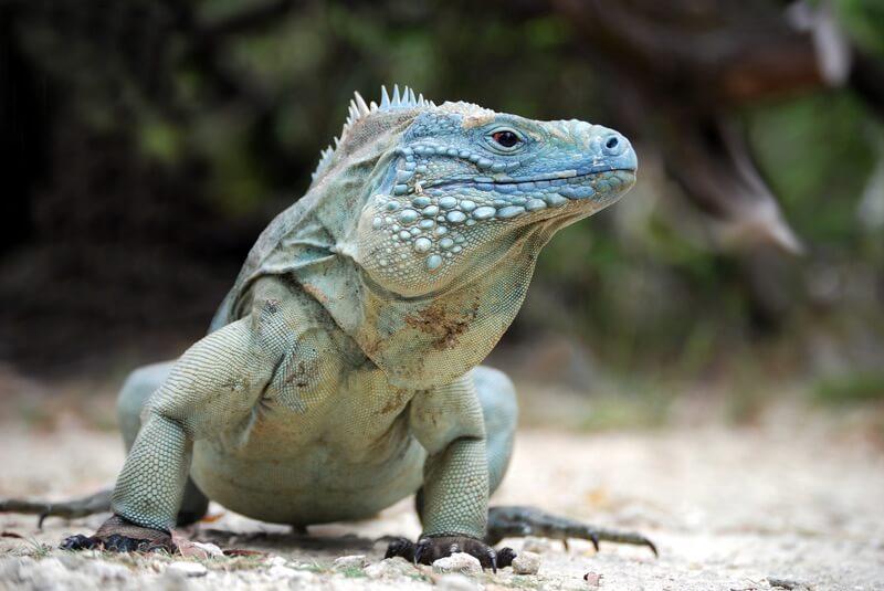 A male Grand Cayman blue iguana