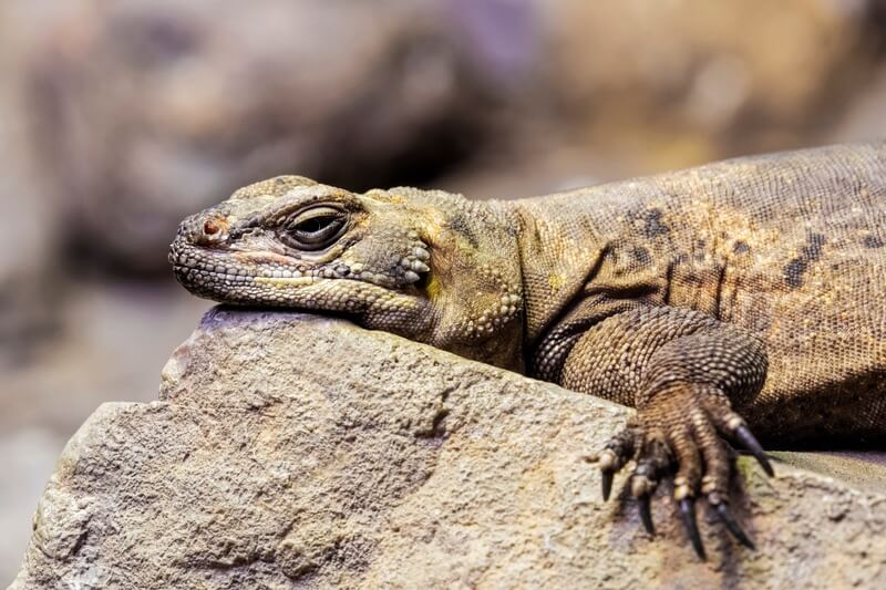 A resting chuckwalla