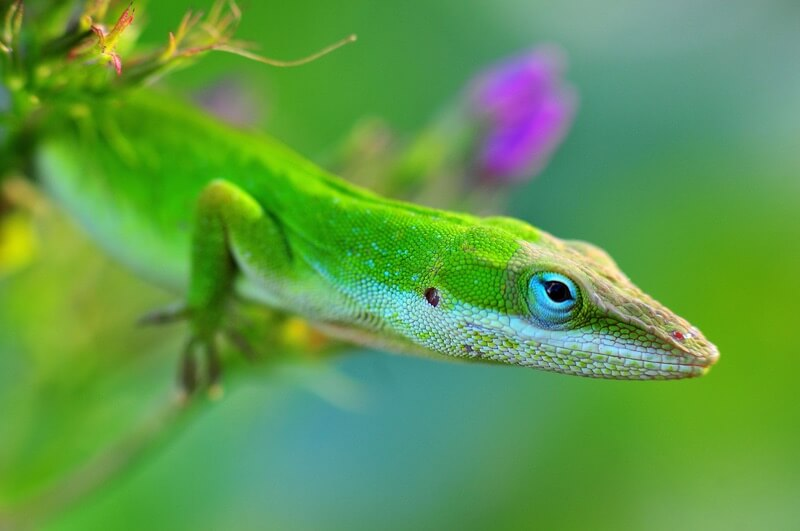 One smart green anole