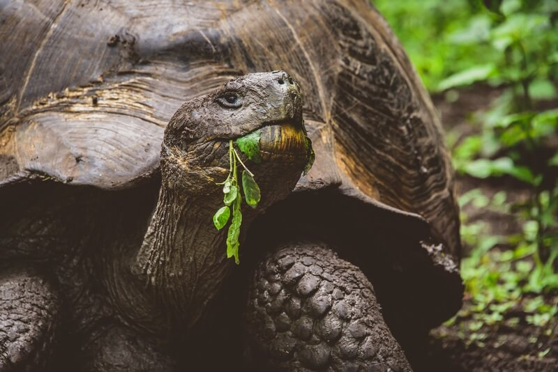 A smart reptile called the giant tortoise