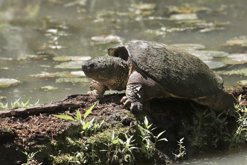 One smart snapping turtle on a log