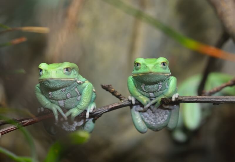 Two waxy monkey tree frogs next to each other on a branch