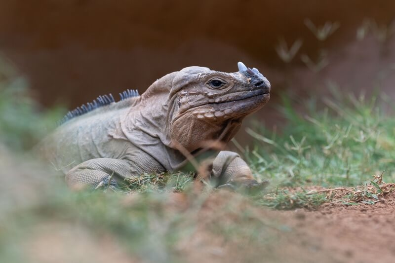 A type of iguana with the name rhinoceros