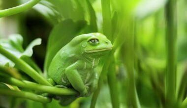 A female waxy monkey tree frog